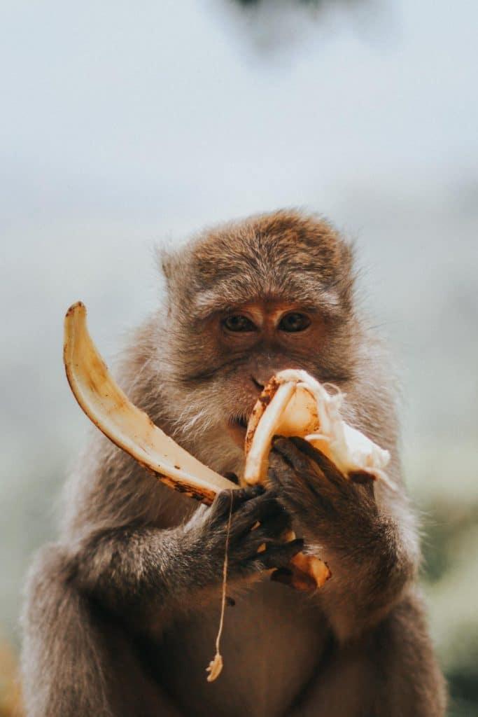 Himalayan monkey